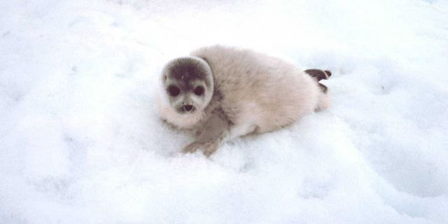 Spotted seal pup - Phoca largha. Picture