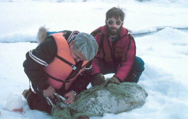 Tagging a spotted seal - Phoca largha. Picture
