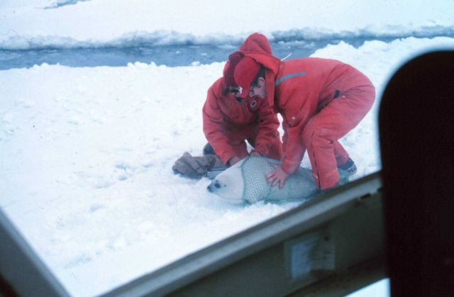 Tagging a spotted seal pup - Phoca largha. Picture