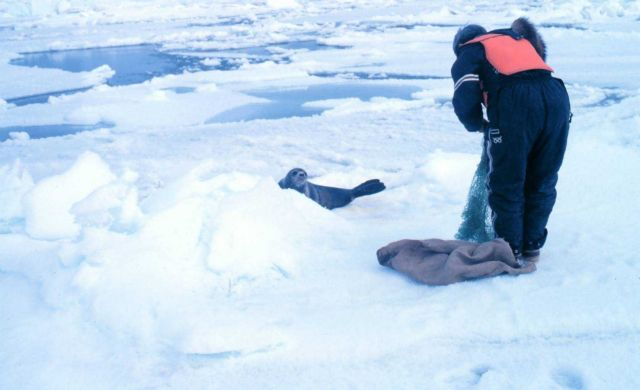 Getting ready to tag a ribbon seal - Phoca fasciata. Picture