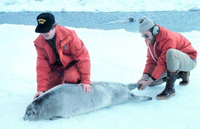 Restraining an uncooperative bearded seal pup - Erignathus barbatus. Picture
