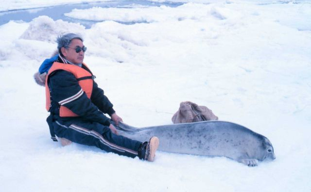 Restraining a spotted seal pup - Phoca largha. Picture