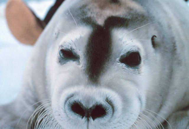 A bearded seal pup - Erignathus barbatus. Picture