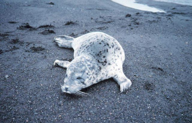 Spotted seal (Phoca largha) on a black sand beach. Picture