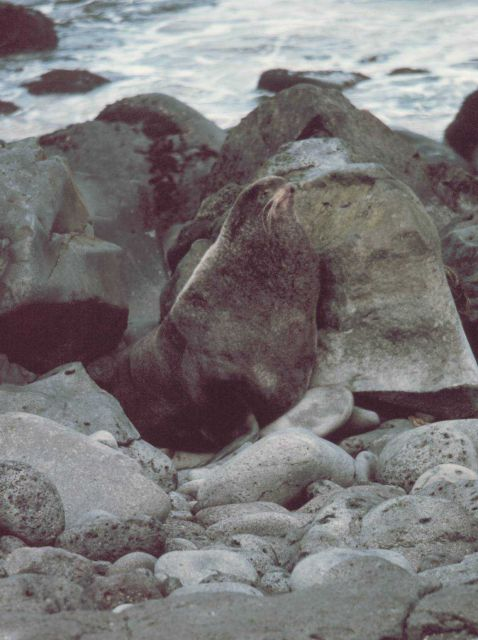 Northern fur seal - Callorhinus ursinus. Picture