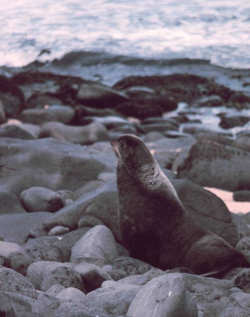 Northern fur seal - Callorhinus ursinus. Picture