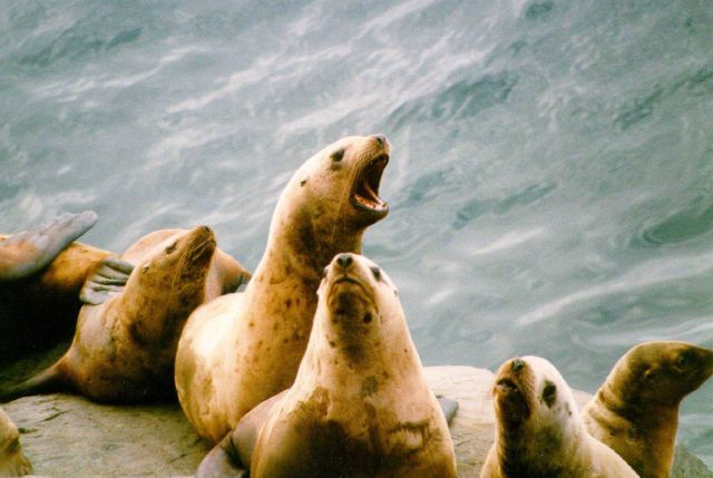 Endangered Steller sea lion. Picture