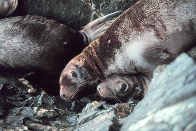 Steller sea lion - Eumetopias jubatus. Picture