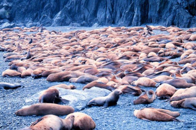 Steller sea lion - Eumetopias jubatus. Picture
