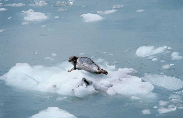 Harbor seal (Phoca vitulina). Picture