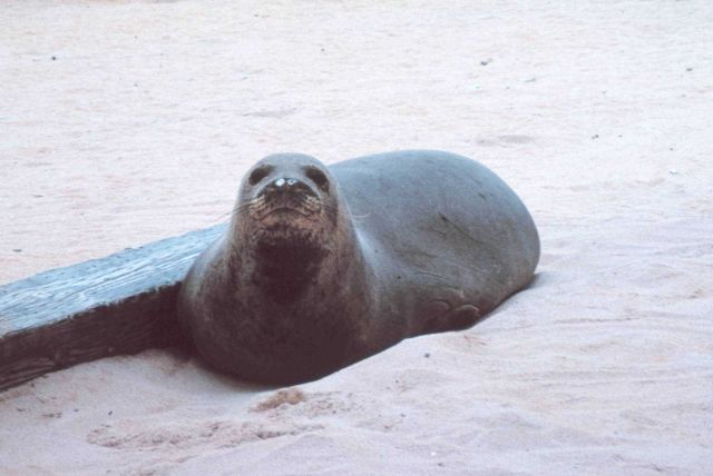 Hawaiian monk seal - Monachus schauinslandi. Picture