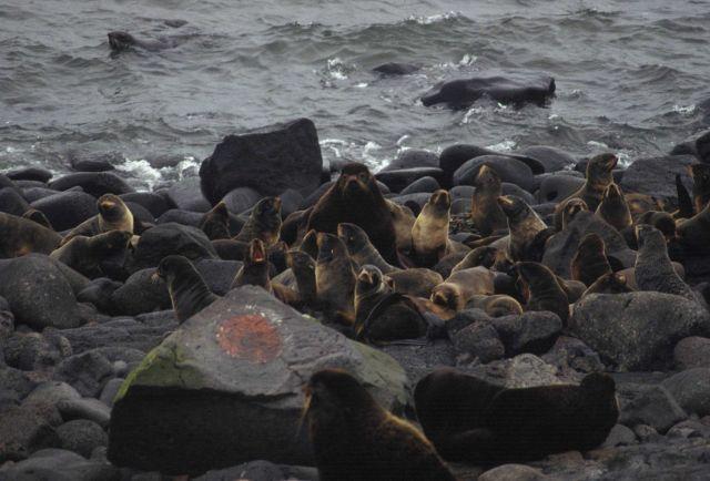 Fur seals Picture