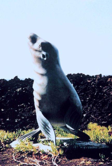 Statue of Hawaiian monk seal - Monachus schauinslandi. Picture