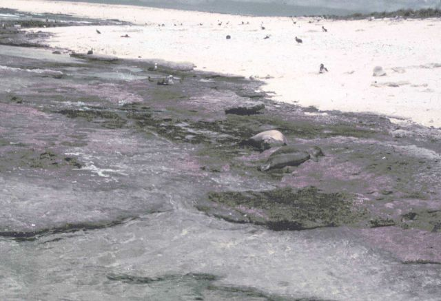 Monk seals blending in with the reef and rocks at Laysan Island. Picture