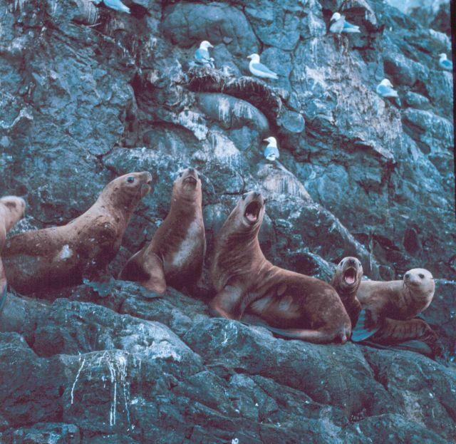 A vociferous group of Steller sea lions - Eumetopias jubatus. Picture