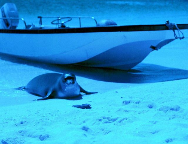 Monk seal hauling out next to boat from NOAA Ship TOWNSEND CROMWELL. Picture