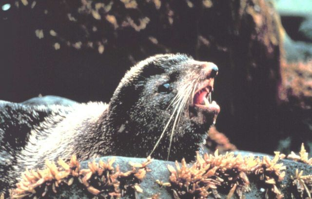 An Alaska fur seal - Callorhinus ursinus - in the rocky intertidal area of a Bering Sea Island. Picture
