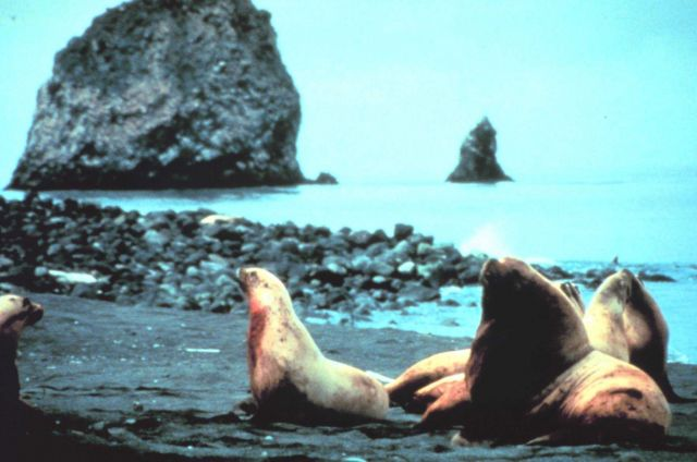 A large bull sea lion guarding his harem on an Alaska beach. Picture