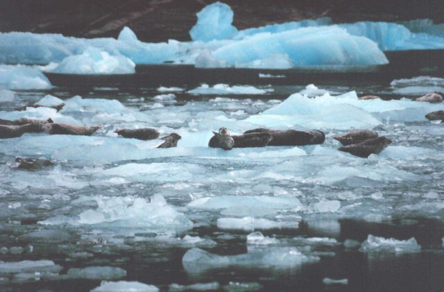 Harbor seals on small ice bergs in Southeast Alaskan waters. Picture