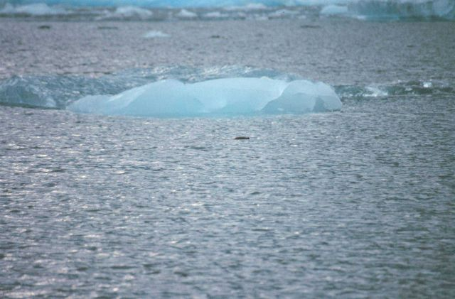 A lone seal's head is seen as he cruises among the small ice bergs of Tracy Arm. Picture