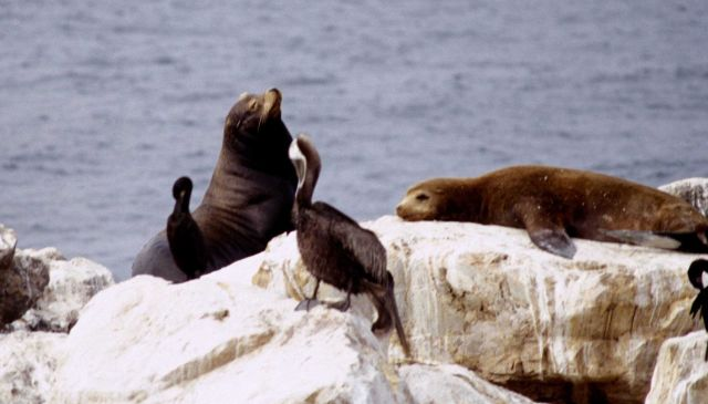 Steller sea lions on a rock Picture