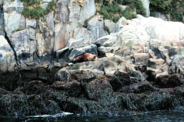 A steller sea lion lollygagging about on a warm Alaskan day. Picture