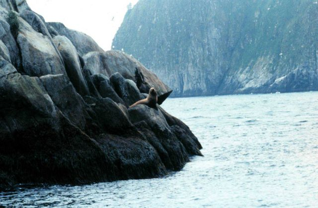 Steller sea lion on a rocky perch. Picture