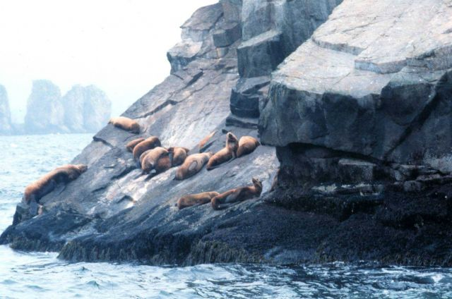 A large bull sea lion with his harem. Picture