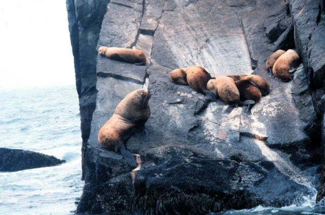A large bull sea lion stands guard over his harem. Picture
