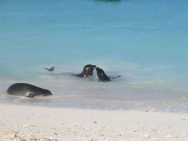 Hawaiian monk seal - Monachus schauinslandi Picture