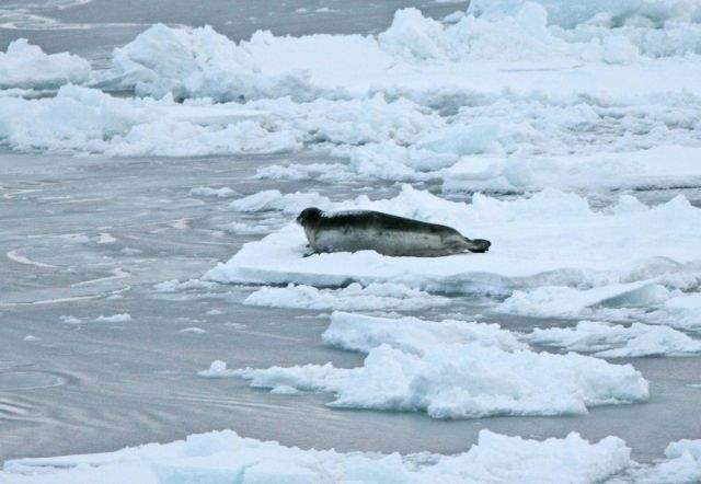 Seal on an ice floe. Picture