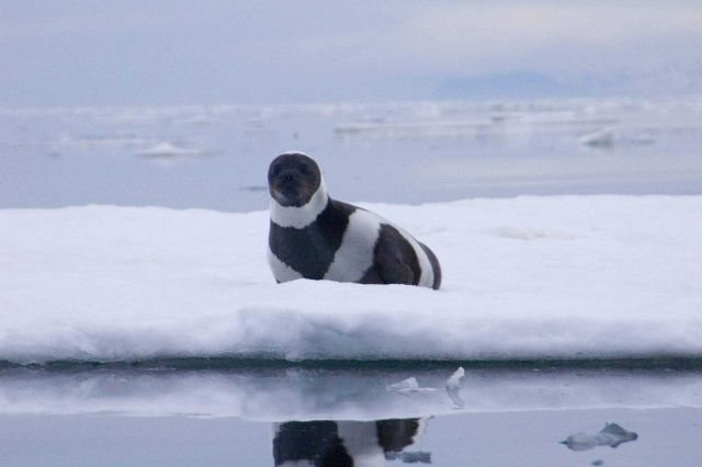 Rare adult male ribbon seal. Picture