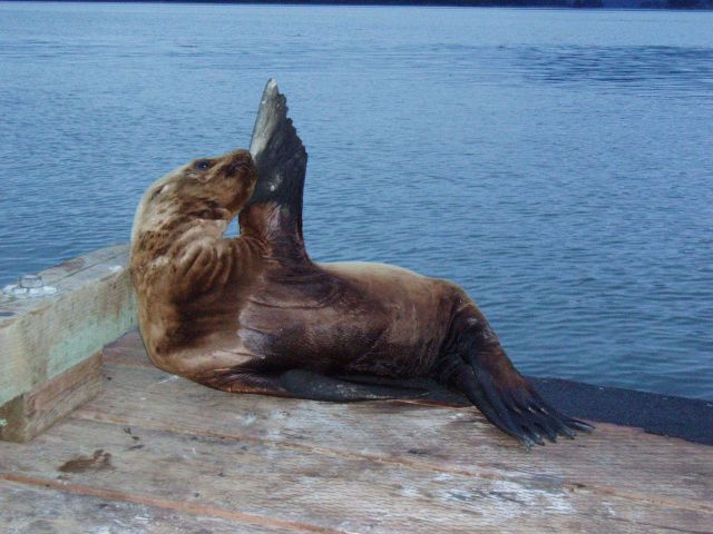 A sick juvenile Steller sea lion hauled out on a public boat ramp (captured and sent to the Alaska SeaLife Center for rehabilitation; released success Picture