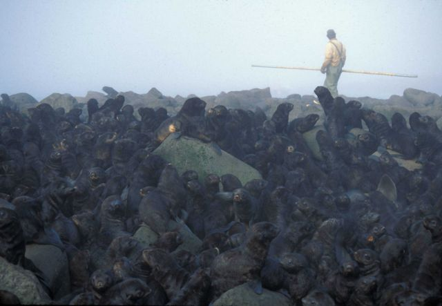 Researcher moving through a northern fur seal colony. Picture