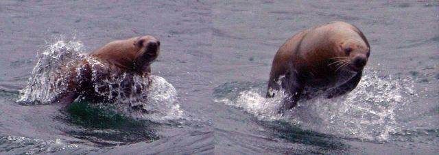 Steller sea lion chasing boat Picture