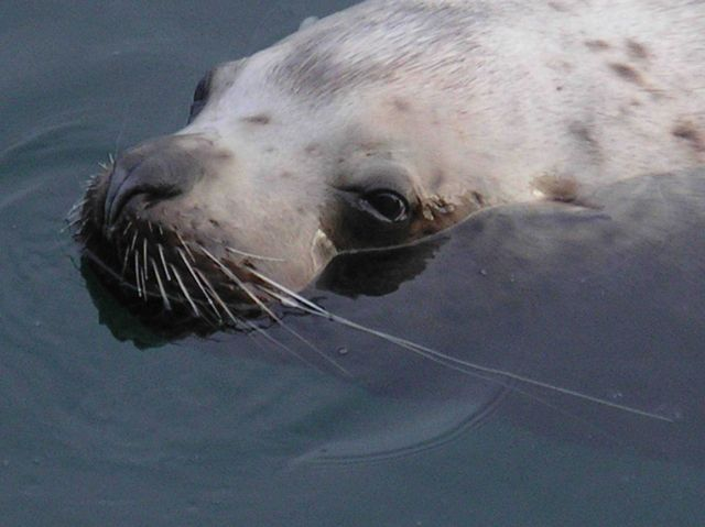 A close-up of the head of a sea lion as it swims past the Trident Seafoods Plant. Picture