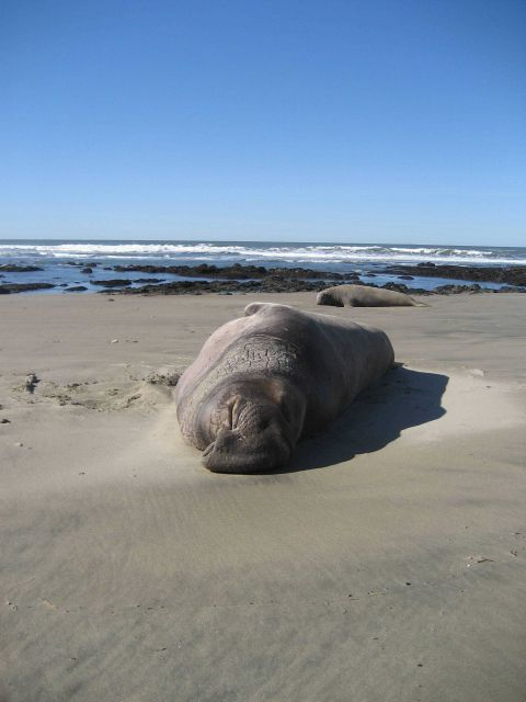 Male elephant seal hauled out on the beach at Ano Nuevo Island. Picture