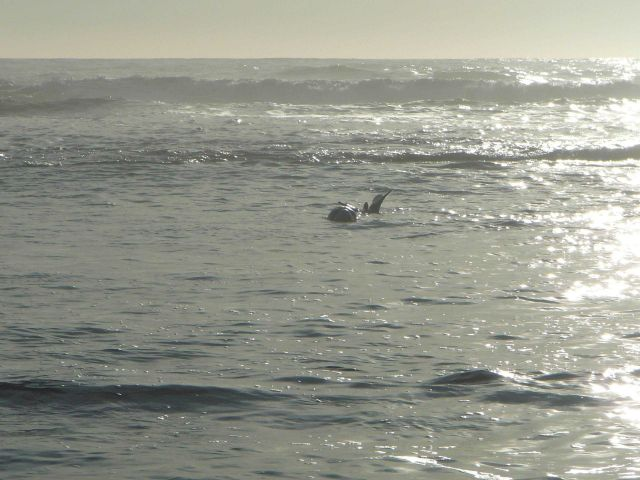 Elephant seal enjoying life in the surf. Picture