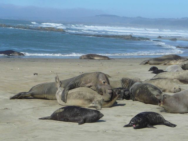 Large male elephant seal claiming rights to his harem Picture