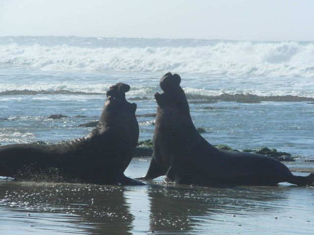 Adult male elephant seal battling for territory and reproductive rights with females which they gather into harems. Picture