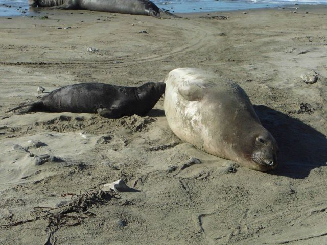 Elephant seal pup nursing from loving mother. Picture