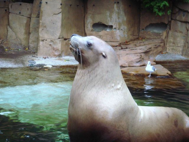 Steller sea lion in zoo. Picture