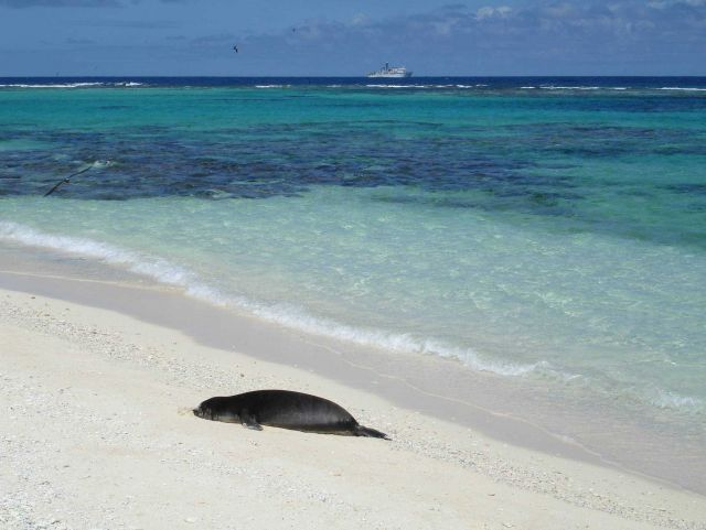 Monk seal pup on beach Picture
