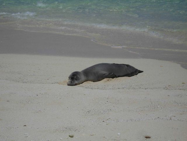 Monk seal on beach Picture