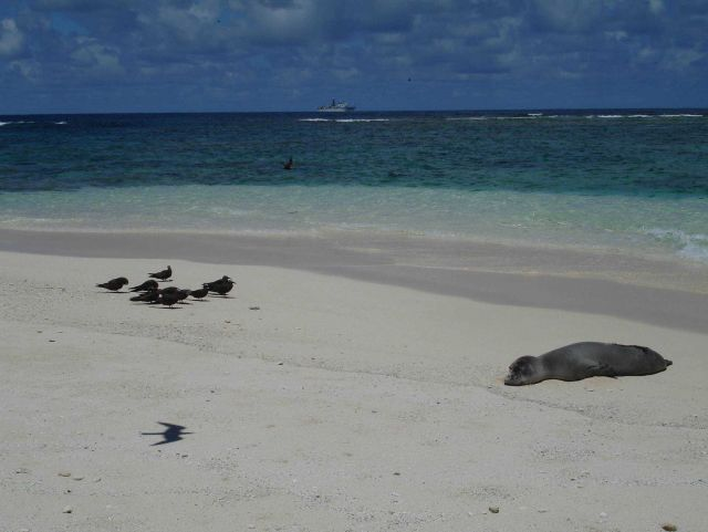 Monk seal on beach with brown noddies to left Picture
