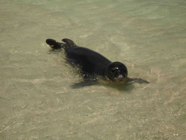 Monk seal with identifiying tag at water's edge. Picture