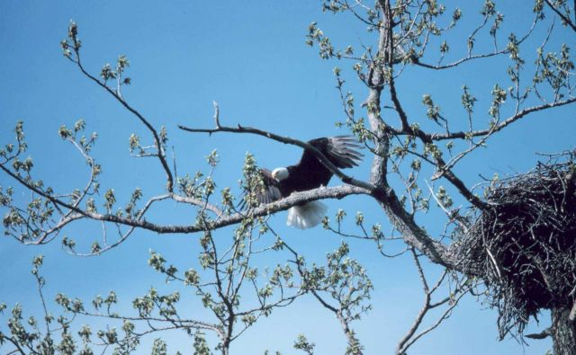 Bald Eagle - Haliaeetus leucocephalus. Picture