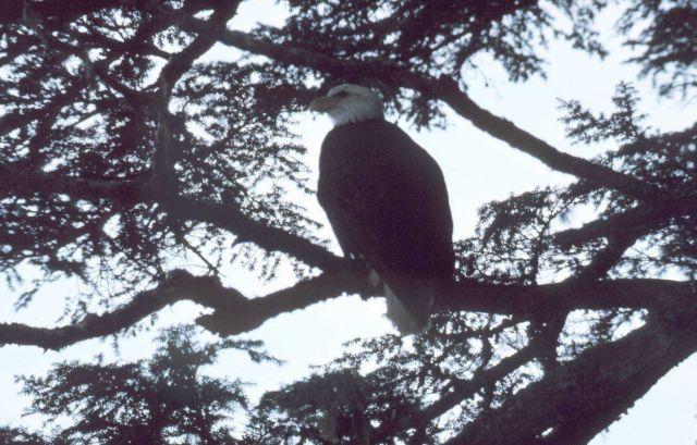 Bald Eagle - Haliaeetus leucocephalus. Picture