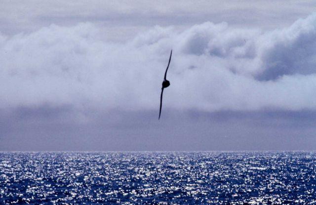 Albatross. Picture