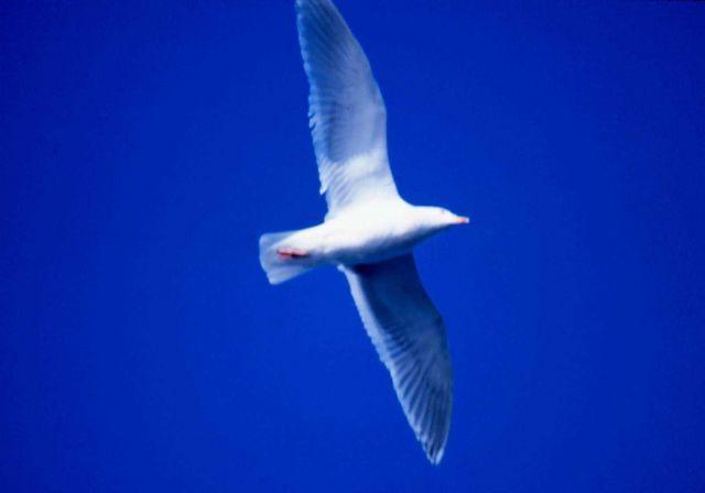 Glaucous gull (Larus hyperboreus). Picture